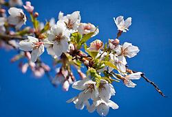 23.04.2011, Kaprun, AUT, Kirschblüten, im Bild ein Zweig eines Kirschbaumes in Blüte // a branch of a cherry tree in bloom, EXPA Pictures © 2011, PhotoCredit: EXPA/ J. Feichter