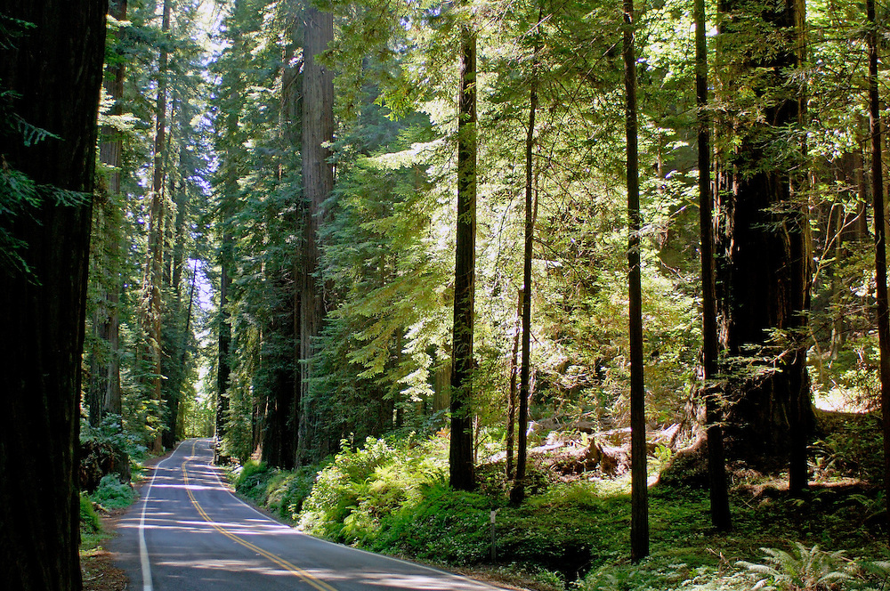 Road at Avenue of the Giants, Humboldt Redwood State Park, near Pepperwood, California, United States of America