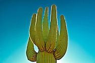 Close-up of a Saguaro cactus in a national park, Saguaro National Park, Arizona, USA (Carnegiea gigantea)