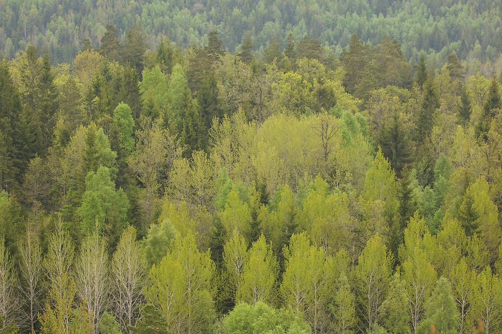 Mixed forest, Uddevalla, Sweden