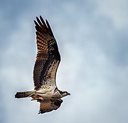 Sixty feet above the Patapsco River in Oella, Maryland, and Osprey with an evening meal.