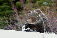 Grizzly bear in deep snow