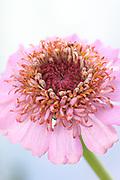 Zinnia elegans 'Faberge Mix' - elegant zinnia