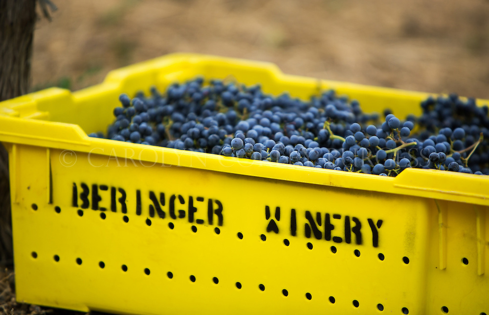 picking bin full of cabernet sauvignon grapes during harvest. saint helena, california,