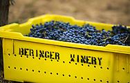 picking bin full of cabernet sauvignon grapes during harvest. saint helena, california,