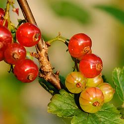 Rode bes, Aalbes, Ribes rubrum
