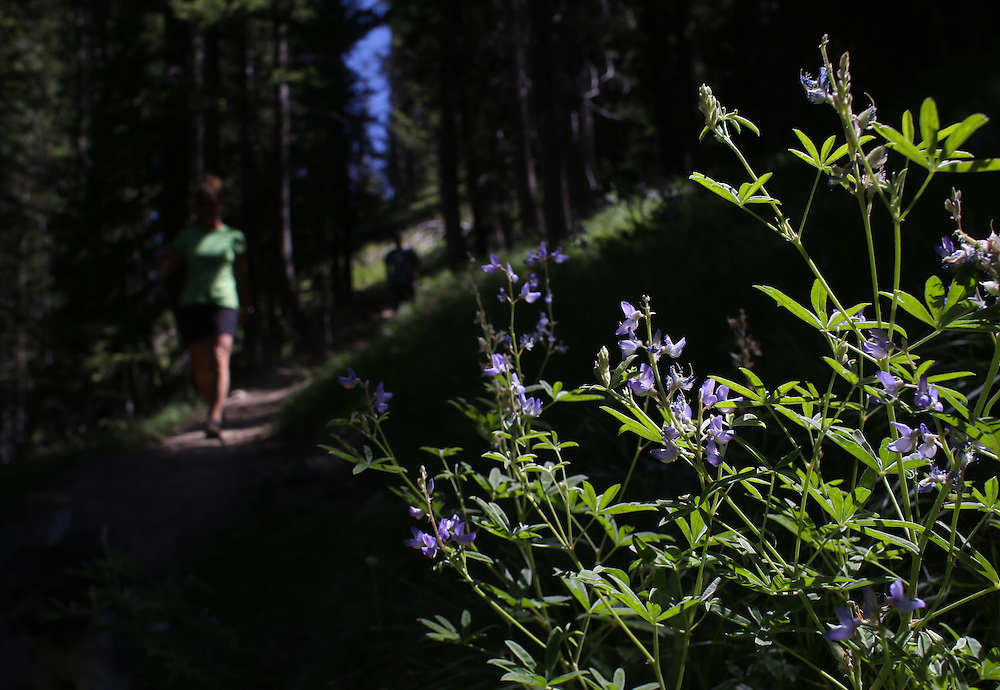 Wildflowers in bloom on the trail to Goat Lake in the Sawtooth Mountains in central Idaho on Sunday July 14th, 2013.
