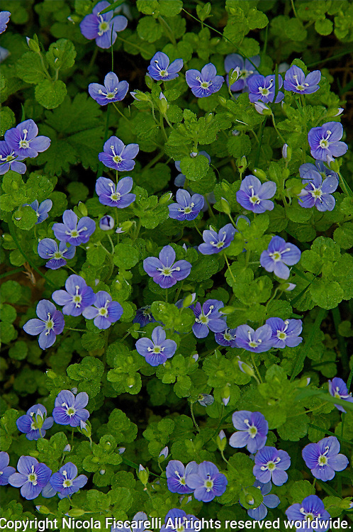 A close-up of blue colored flowering ground cover.