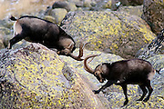 Spanish Ibex (Capra pyrenaica victoriae). Two old males fighting during the rut season. Sierra de Gredos Mountains range, Avila province, Spain.<br /> Cabra mont&eacute;s (Capra pyrenaica victoriae). Dos viejos machos peleando durante la temporada de celo.  Sierra de Gredos, Avila, Espa&ntilde;a.