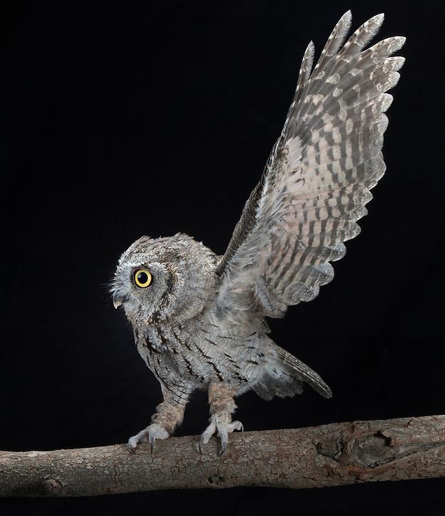 Western Screech Owl (Megascops kennicottii), captive