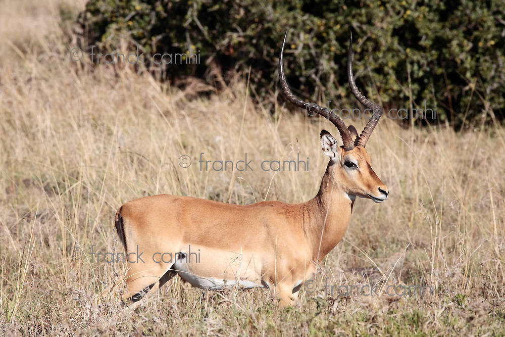 Impala Aepyceros melampus grazing in the beautiful reserve of masai mara in kenya africa
