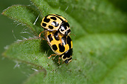 Close up of a mating pair of 14-spot ladybirds (Propylea 14-punctata) on a leaf in a Surrey garden.