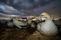 Cape Gannet nesting colony as a storm passes overhead, Malgas Island, Western Cape, South Africa