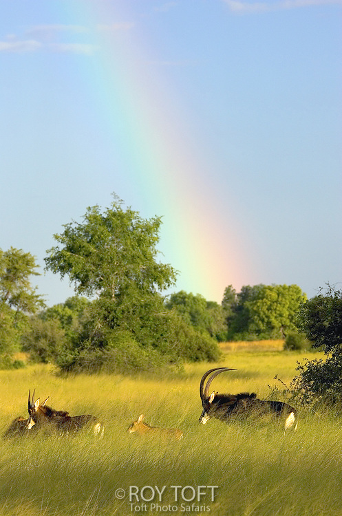 Rainbow over grasslands with group of sable antelope (Hippotragus niger).