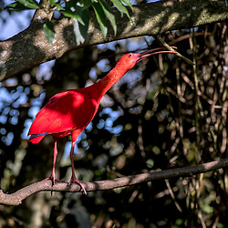 Guará (Eudocimus ruber) fotografado na África do Sul. Registro feito em 2019.<br /> ⠀<br /> ⠀<br /> <br /> <br /> <br /> <br /> ENGLISH: Scarlet ibis photographed in South Africa. Picture made in 2019.