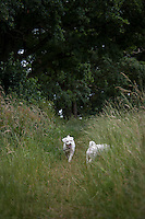 Bichon Frise dogs running in a London park.