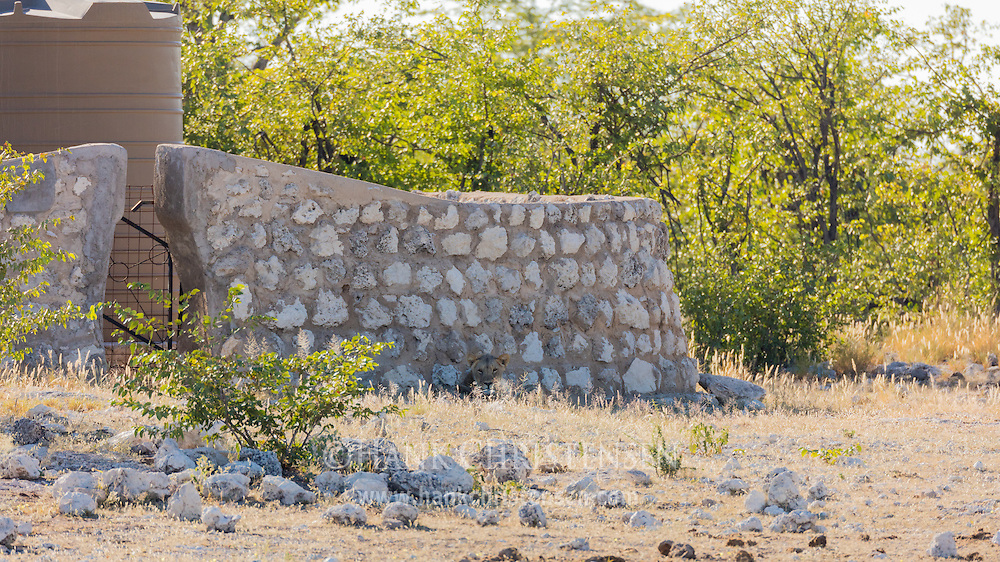 A lion hides in plain sight against an old stone wall, Etosha National Park, Namibia.