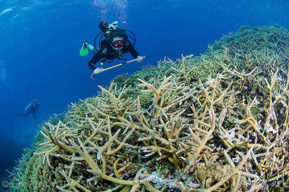 Marine conservationist Ian Drysdale from the Healthy Reefs initiative surveys the staghorn coral (Acropora cervicornis), on the Cordelia Banks off Roatan, Honduras.