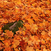 """Freshly Fallen Leaves""<br />