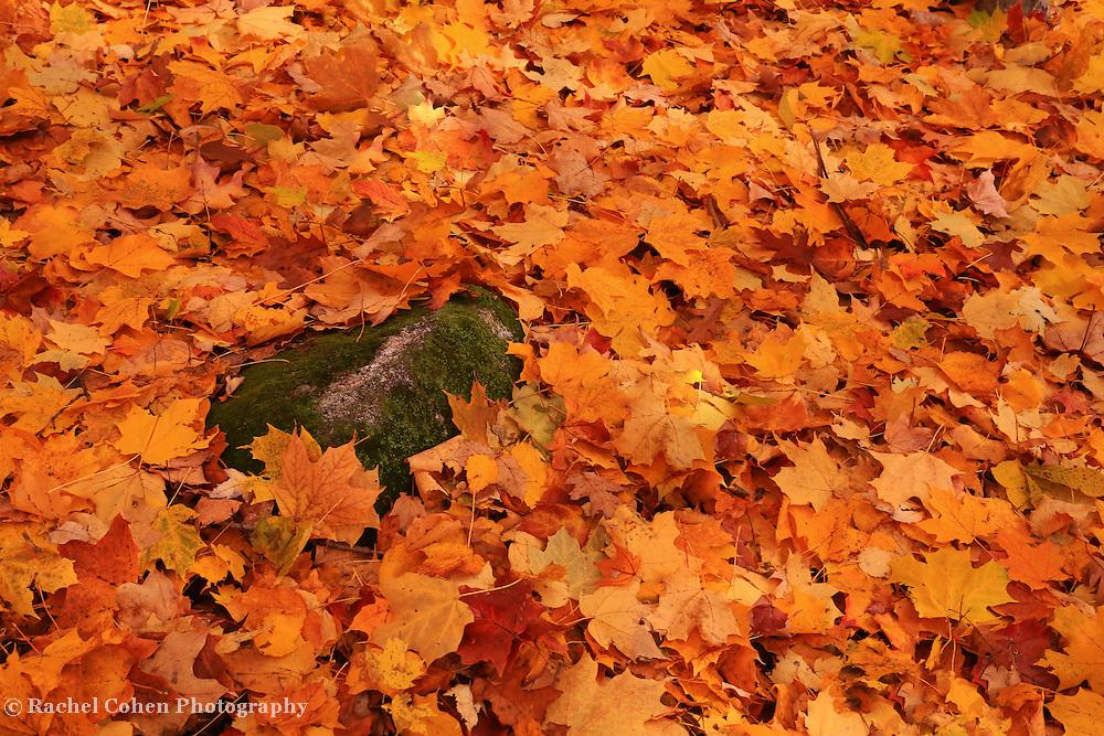 &quot;Freshly Fallen Leaves&quot;<br /> <br /> A carpet of wonderful colorful fallen leaves!!<br /> <br /> Fall Foliage by Rachel Cohen