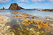 kelp at Shades Pool, Catlins, New Zealand