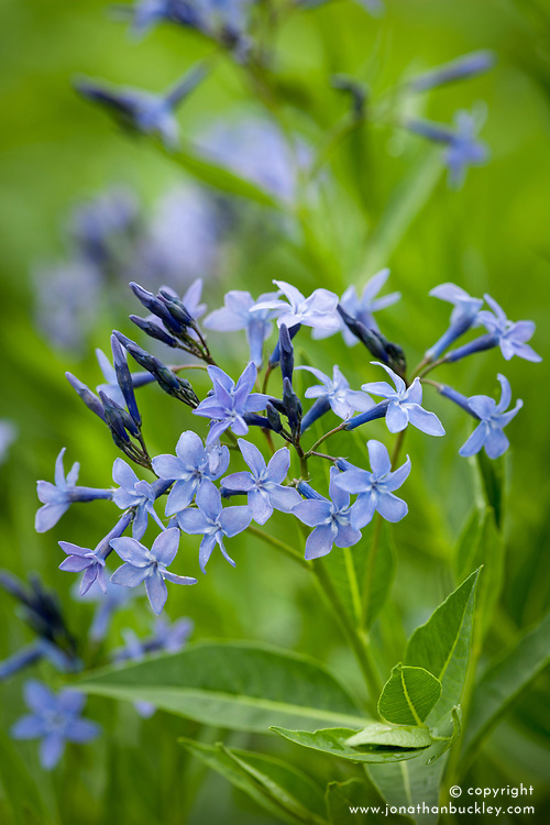 Amsonia 'Blue Ice'. Bluestar