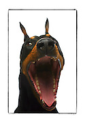 "SHOT 2/18/08 12:01:15 PM - Portraits of various dogs at the 13th Annual Rocky Mountain Cluster dog show at the National Western Complex in Denver, Co. ""Axel"", a three year old male Doberman Pinscher lets out a big yawn while being photographed. ""Axel"" is owned by Shelley Voorhees of Centennial, Co. and is a show Champion. The Doberman Pinscher (alternatively spelled Dobermann in many countries) or Doberman is a breed of domestic dog. Doberman Pinschers are among the most common of pet breeds, and the breed is well known as an intelligent, alert, and loyal companion dog. Although once commonly used as guard dogs, watch dogs, or police dogs, this is less common today. Doberman Pinschers typically have a deep, broad chest, and a powerful, compact, and square muscular body of medium size. Doberman Pinschers were first bred in Germany around 1890 by Karl Friedrich Louis Dobermann. Dobermann was a tax collector who frequently traveled through many bandit-infested areas, and needed a protection dog to guard him in any situation that might arise. He set out to breed a new type of dog that, in his opinion, would be the perfect combination of strength, loyalty, intelligence, and ferocity. The breed is believed to have been created from several different breeds of dogs that had the characteristics that Dobermann was looking for, including the Pinscher, the Beauceron, the Rottweiler, the Thuringian Shepherd Dog, the black Greyhound, the Great Dane, the Weimaraner, the German Shorthaired Pointer, the Manchester Terrier and the German Shepherd Dog. The competition features some of the top show dogs in the country and showcases close to 200 different breeds. Some 3,500 dogs and some of the top handlers in the country compete at the event which follows on the heels of Westminster. In a conformation show, judges familiar with specific dog breeds evaluate individual dogs for how well they conform to published breed standards. Conformation shows are also referred to as dog shows or br"
