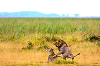 Lion and lioness courting, Amboseli National Park, Kenya