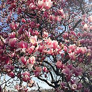 Early spring flowers near the Tidal Basin in Washington DC.