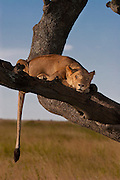 Lioness sleeping in tree to escape bugs, Serengeti National Park, Tanzania.
