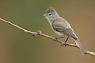 Northern Beardless-Tyrannulet - Camptostoma imberbe