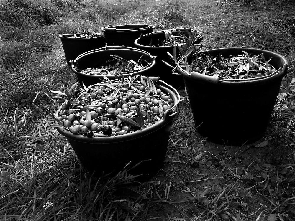 Bakets full of olives, Domaine du Jasson, La Londe Les Maures, France.