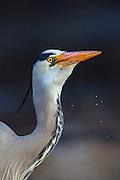 I came really close on this Gray Heron. It has recently swallowed a fish. Look at the expression in it's face | Jeg kom veldig tett på denne Gråhegren. Den har nettopp fortært en fisk. Se på det fornøyelige utrykket i ansiktet.