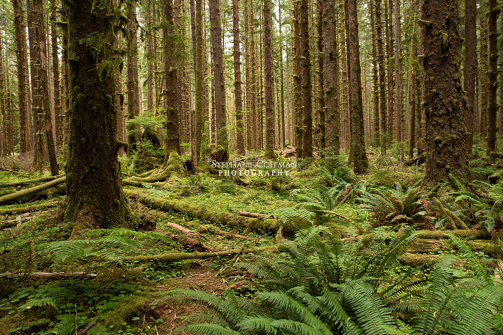Spruce Nature Trail in the Hoh Rain Forest at Olympic National Park, Washington, USA