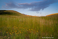 Yellow coneflowers in the foothills of the Absaroka Mountains near Livingston Montana