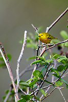 Yellow warbler (dendroica petechia) perched at top of tree Broad Cove, Nova Scotia, Canada,