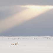 Polar bear (Ursus maritimus) mother and cubs under a shaft of light. Cape Churchill, Manitoba, Canada
