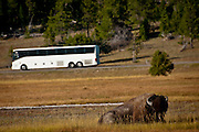 American Bison, Bos bison, with tour bus at Yellowstone National Park, WY, on Sept. 7, 2012.  (Photo by Aaron Schmidt © 2012)