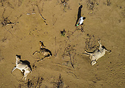 DROUGHT IN ETHIOPIA<br /> <br /> The Borana tribe, part of Oromo people who make up around a third of the Ethiopian population, is suffering from drought for months. Cows are dying, meanwhile many people are complaining the lack of support from the government, thus generating massive uprisings, repressions and killing hundreds of protesters.<br />  Borana live in Kenya, Ethiopia and Somalia with a population of 500,000. They are semi pastoralists. Their life depends on their livestock, which are their only wealth. Their cattle are used in sacrifices and also as dowry or to pay legal fines. For one year, there has been no rain and more than 15,000 cows have died in Ethiopia.<br /> <br /> Photo shows:  Borana live in Kenya, Ethiopia and Somalia with a population of 500,000. They are semi pastoralists. Their life depends on their livestock, which are their only wealth. Their cattle are used in sacrifices and also as dowry or to pay legal fines. For one year, there has been no rain and more than 15,000 cows have died in Ethiopia.<br /> ©Eric lafforgue/Exclusivepix Media
