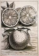 Citrus fruit (Orange) engraved botanical plates from 'Catalogus plantarum horti Pisani' by Michelangelo Tilli (Pisa 1723)