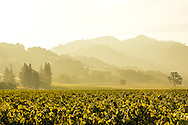 Morning light in an Alexander Valley vineyard