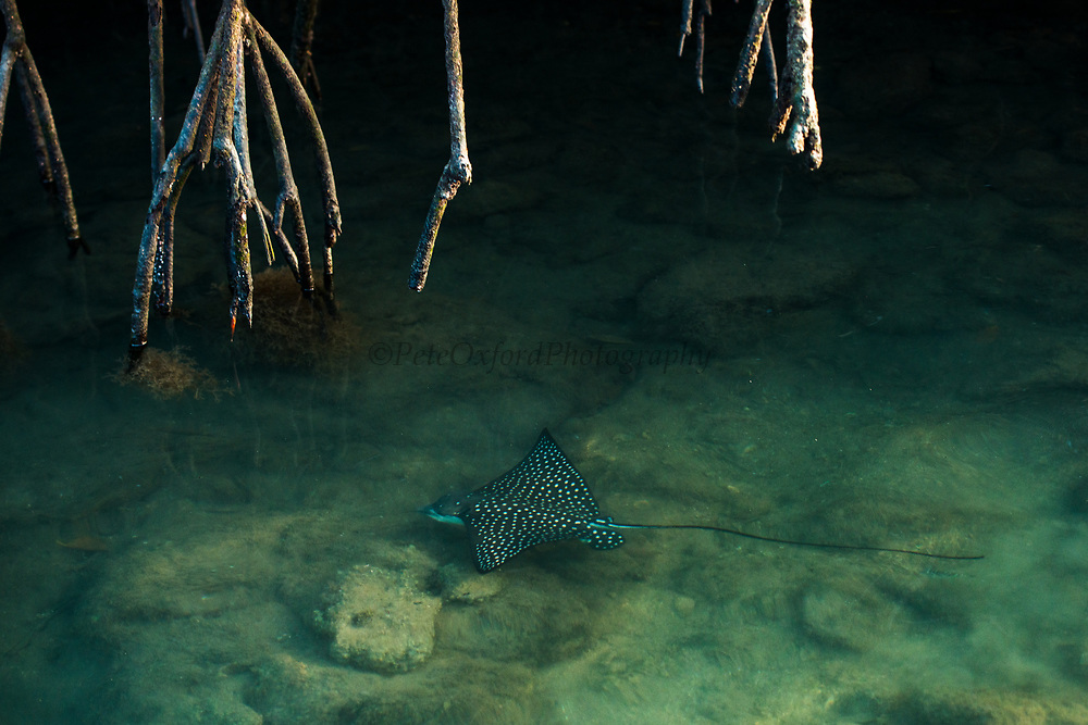 Spotted eagle ray (Aetobatus narinari)<br /> Black Turtle Cove, Santa Cruz Island<br /> Galapagos Islands<br /> Ecuador<br /> South America