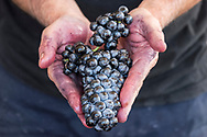 A bunch of counties grapes at Tablas Creek winery, Paso Robles, California