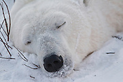 A polar bear thoroughly  enjoys rolling around in the snow.