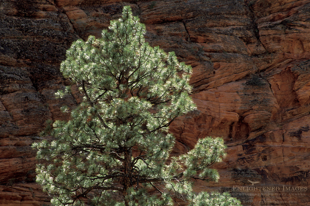 Trees and red sandstone cliffs along the Zion - Mt. Carmel Highway, Zion National Park, Uath