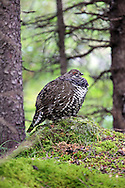 Spruce grouse in northern boreal forest habitat