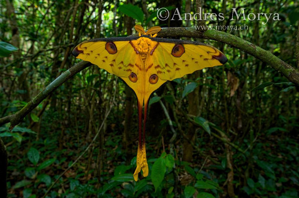 Comet Moth (Argema mittrei), Madagascar Comet Moth (Argema mittrei), Madagascar Image by Andres Morya