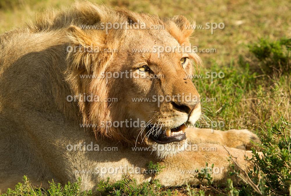 Lion in Schotia Safaris on June 24, 2010  in the Eastern Cape reserve, Addo area, near Port Elizabeth,  South Africa. (Photo by Vid Ponikvar / Sportida)