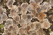 Patches of lichen create an abstract pattern on a boulder in Southcentral Alaska. Autumn. Morning.