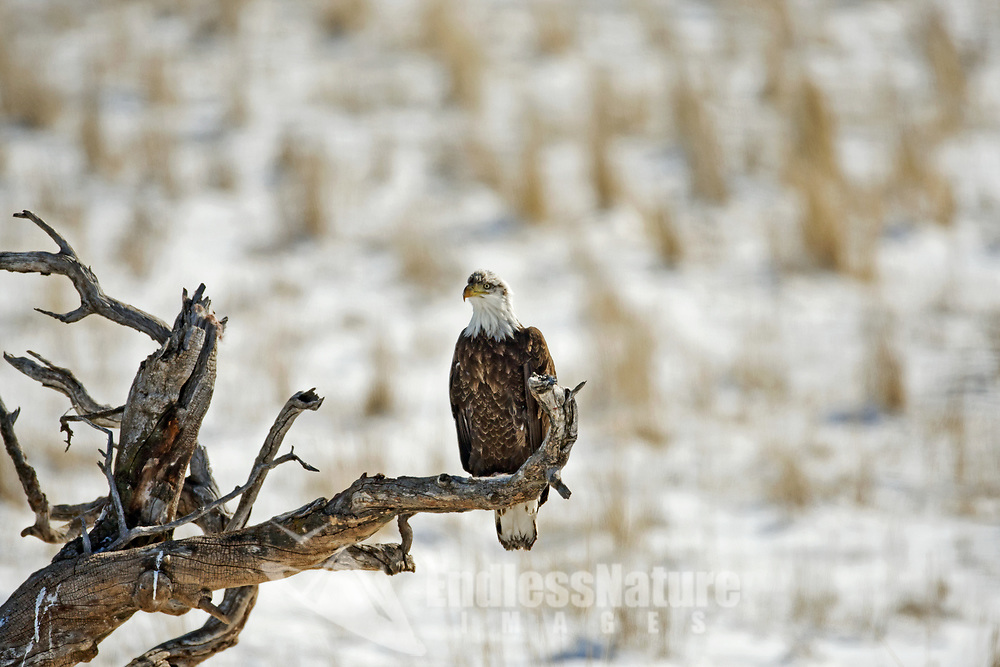 A Bald Eagle perched on an old dead tree overlooking a farmers field on a bright winter day.